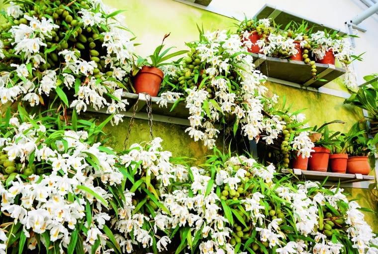 We wnętrzu zoszklonym dachem, np. w przydomowej oranżerii, kapturzyk grzebieniasty może kwitnąć bardzo obficie.