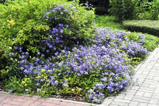 Powojnik 'Arabella' z grupy Integrifolia może występować w ogrodzie w roli rośliny okrywowej