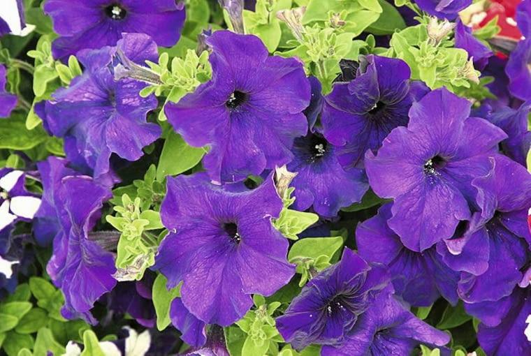 Petunia (Petunia). Pachnące kwiaty