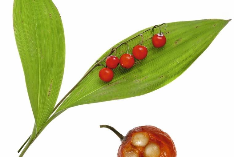 Czerwone owoce są piękną dekoracją jesiennej rabaty, niestety, trującą (uwaga na dzieci!)