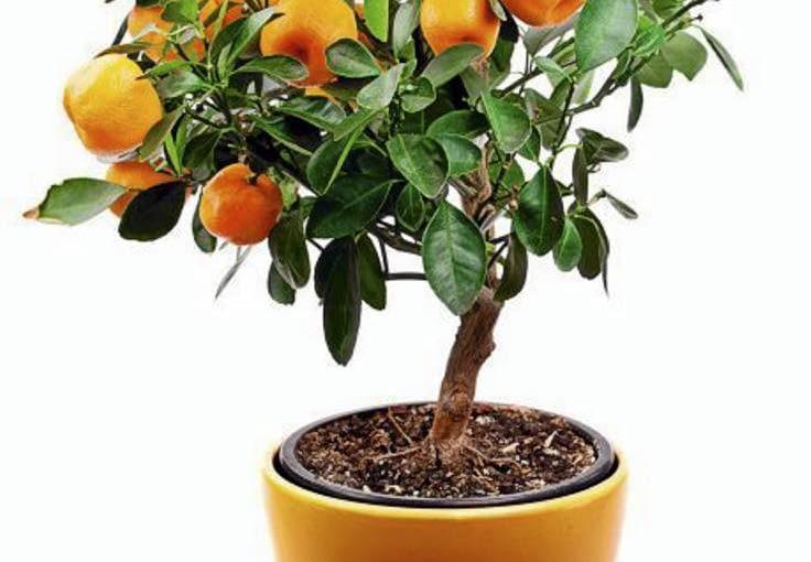 Rośliny na zabudowany balkon. Cytrusy owocują obficie na balkonie,na którym jest nieco powyżej 0 st. C.