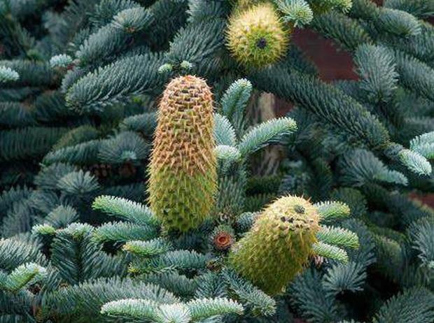 SLOWA KLUCZOWE: abies procera GLAUCA jodla szlachetna conifer iglaste kika wr?blewska szczecin jodla szyszka