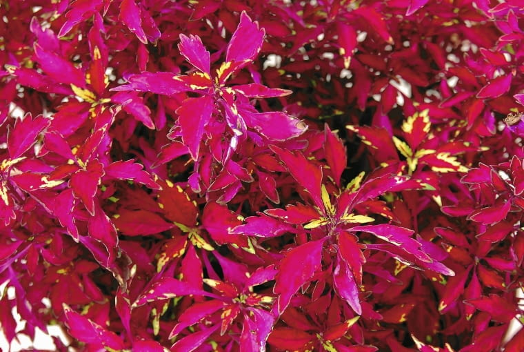 Koleus 'Wildfire Smoky Rose' - ta odmiana rośnie prawie do pół metra.