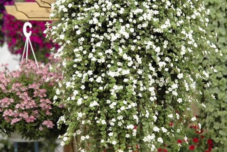 bakopa, kwiaty balkonowe