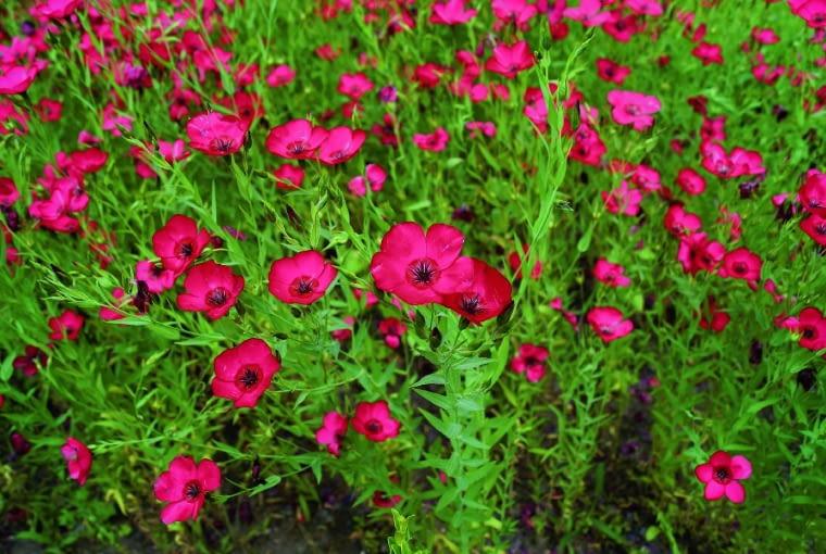 Len czerwony (Linum grandiflorum)