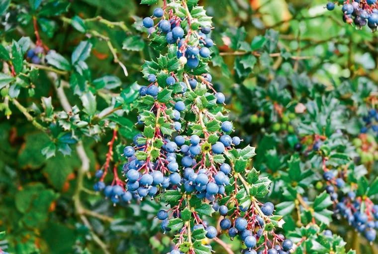 ,CWY8JC Berberis darwinii laden with berries.