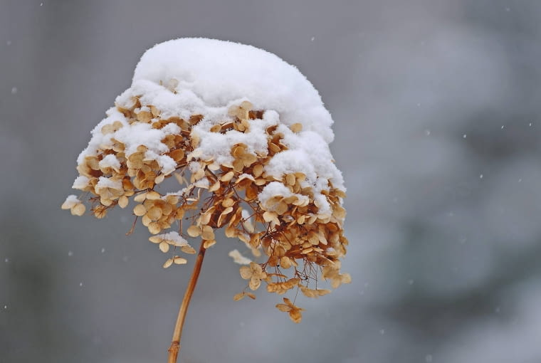 Hortensja drzewiasta (krzewiasta) tworzy pąki wiosną na młodych przyrostach i kwitnie niezawodnie. Na zdjęciu: zaschnięty kwiatostan.