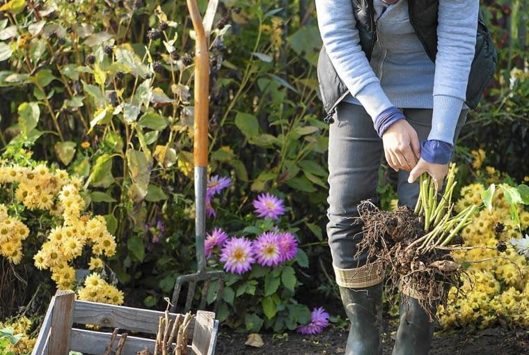 Dahlienknollen ausgraben : Dahlia ( Dahlien - Knollen ) mit Grabgabel ausgraben und in Holzkiste legen SLOWA KLUCZOWE: AUTUMN GARDEN KITCHEN GARDEN KITCHEN GARDENS TO IN-WINTER TO WINTER fall gardens practice