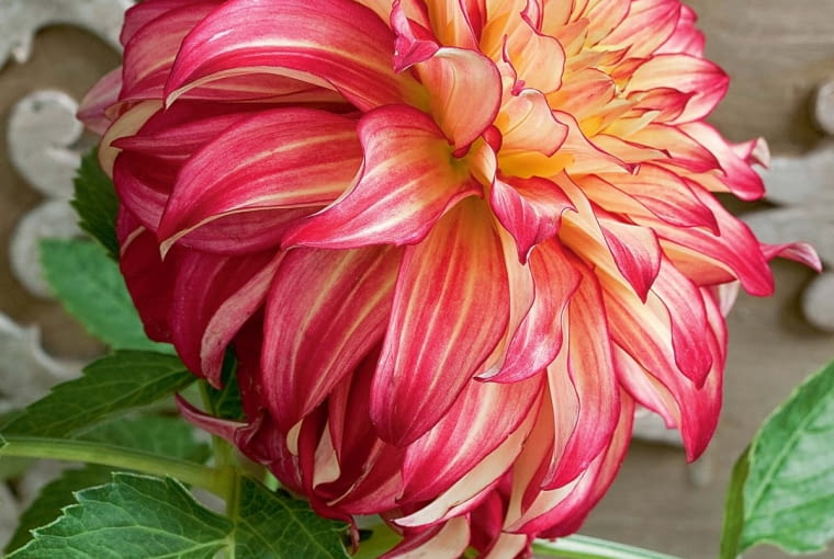 'Explosion' - dalia dekoracyjna, wys. 1 m, śr. 'kwiatu' 18 cm.