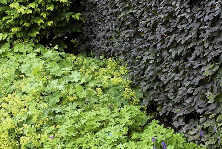 pr-dzialkowiec pr-dz SLOWA KLUCZOWE: alchemilla buk fagus geranium hedge purple purpurea sylvatica zywoplot