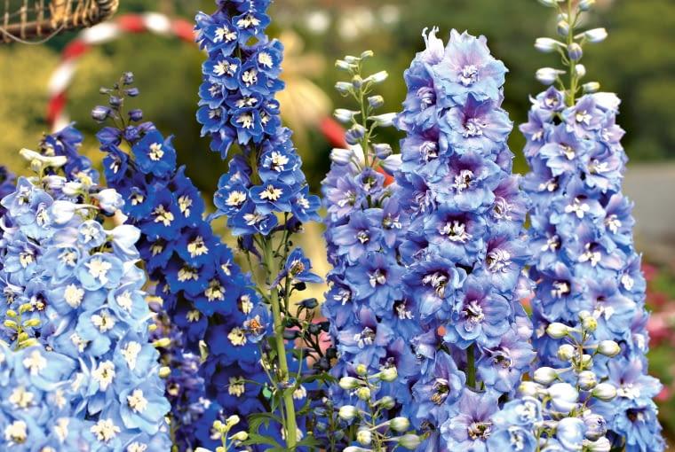 Ostróżka wyniosła sięga smukłymi kwiatostanami do wysokości ponad 1,5 m.