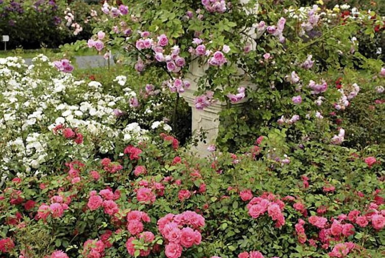 Róża Bad Birnbach. Zwarty krzew, może też służyć jako roślina okrywowa lub pojemnikowa
