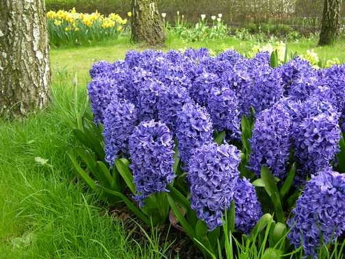 Hiacynt Delf Blue. Kwiaty cebulowe