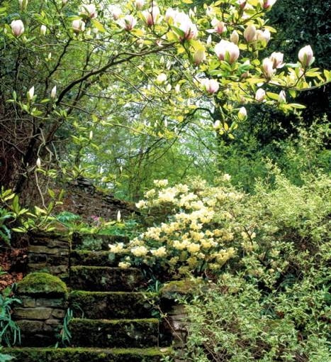 Stone steps in woodland garden with Magnolia x soulangeana and azalea
