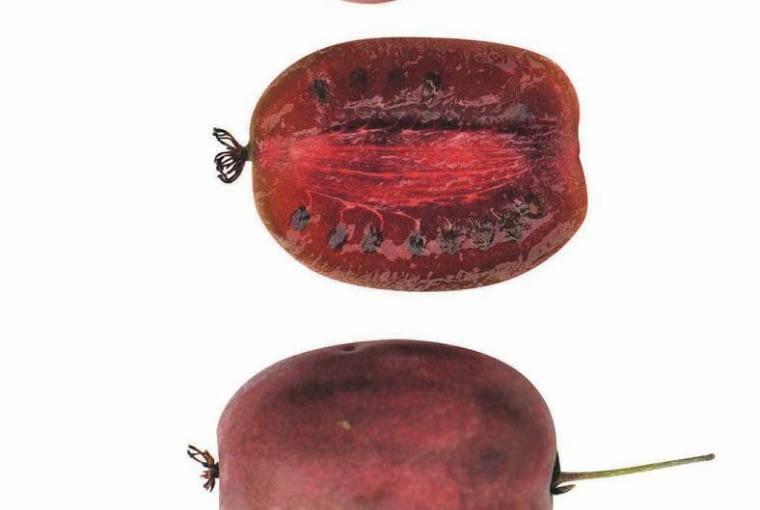 Owoce kiwi z własnego ogrodu. Atkinidia odmiana 'Purpurna Sadowa'