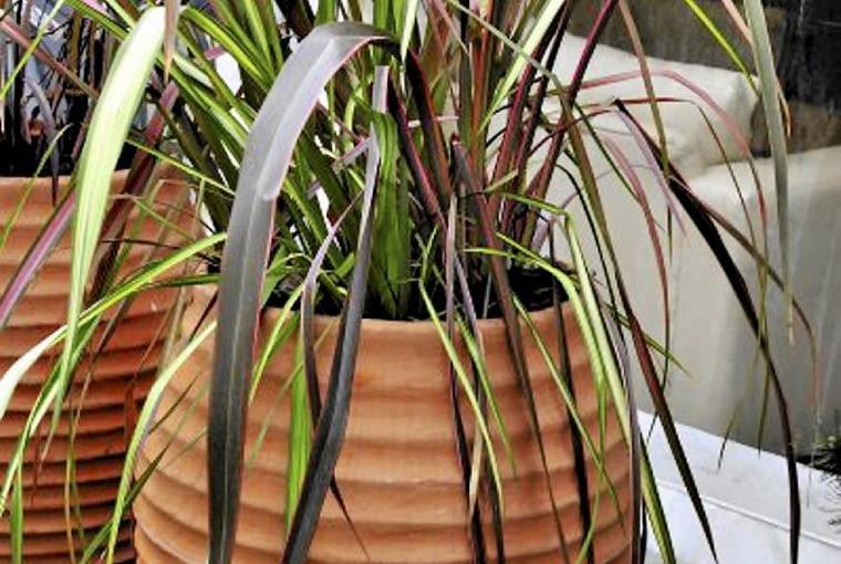 Trawy ozdobne. Rozplenica japońska ma wiele odmian o wspaniale ubarwionych liściach i dorodnych kłosach. Dorasta do metra. Niestety, w naszym klimacie nie zimuje