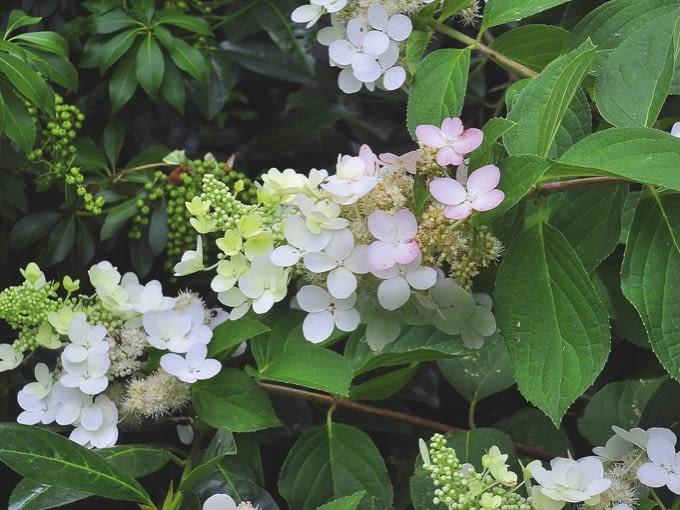 $Hydrangea paniculata Tardiva, July