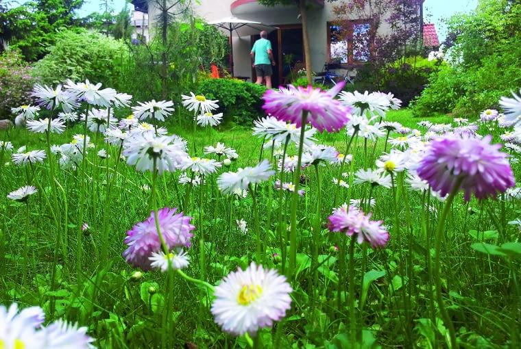 Stokrotki kwitną jak szalone i rozsiewają się - ku mojej wielkiej radości.
