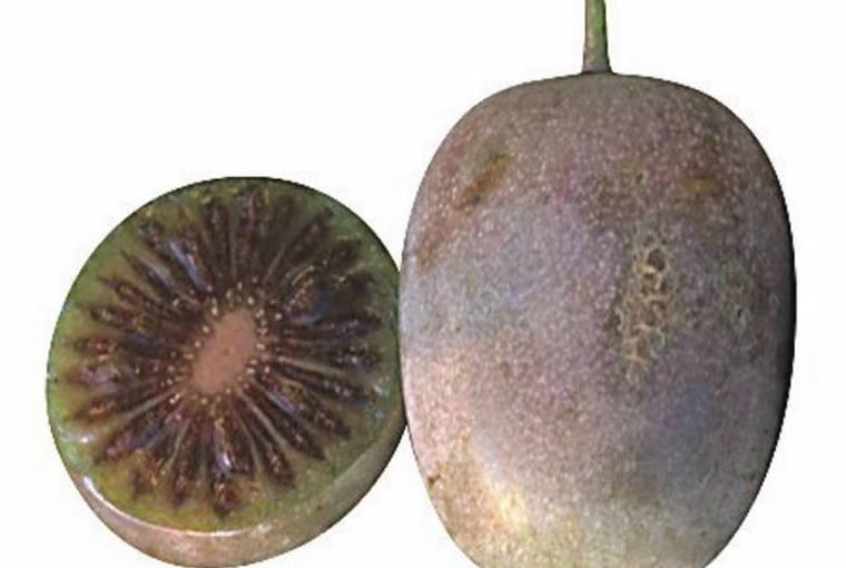 Owoce kiwi z własnego ogrodu. 'KEN'S RED' (aktinidia ostrolistna) Owoce duże (około 4 cm długości), nie tak bardzo kolorowe jak u odmiany 'Purpurna Sadowa', ale znacznie od nich słodsze. Zbiór na przełomie września i października.