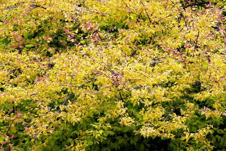 Śnieguliczka Chenaulta 'Brain de Soleil' (S. ×chenaultii) jest pokładającym się krzewem o drobnych (1,5 cm), dekoracyjnych liściach. Dorasta do wysokości 0,5 m, osiągając średnicę 1,5 m. Tworzy delikatne pędy, których młode przyrosty mają barwę pomarańczową. Tego samego koloru są młode liście, starsze są żółte, a latem, zwłaszcza gdy rosną w cieniu, intensywnie zielone. Krzew kwitnie krótko w drugiej połowie maja. Owoców nie zawiązuje. Odmiana ta doskonale nadaje się na niskie kobierce. Sprawdza się zwłaszcza na glebie, która długo nie przesycha.