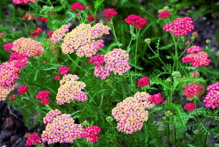 Odmiany krwawnika mniej oszczędnie gospodarują wodą niż dziko rosnące okazy (świadczy otym zielona, anie szara barwa liści), słabiej też zimują.