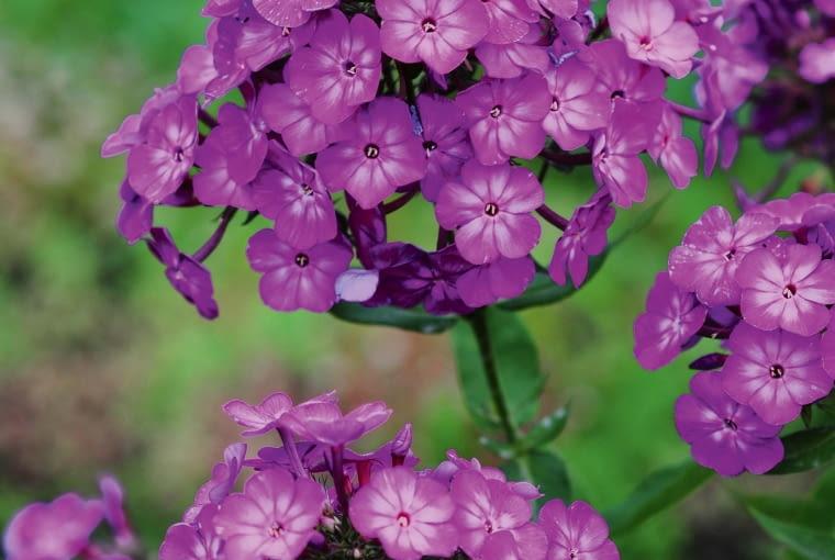 Floks wiechowaty - jego liczne odmiany o wysokości 70-100 cm kwitną w środku lata.