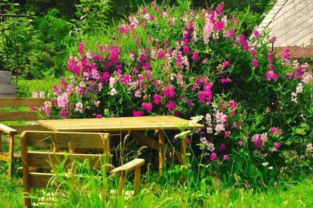 Kwiaty groszku szerokolistnego są drobniejsze od pachnącego, a jego zieleń bardziej niebieskawa.