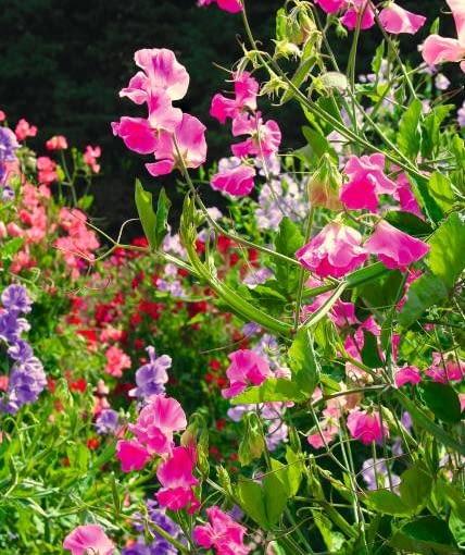 Groszek pachnący zdobi ogrody burzą kwiatów. Może też rosnąć w balkonowych skrzynkach.