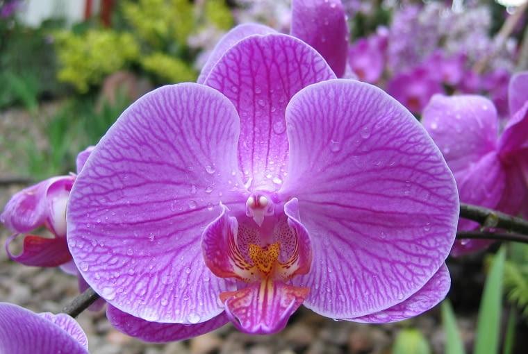 Falenopsis można kupić nawet w hipermarkecie. Słynie z długiego okresu kwitnienia. nie sprawia problemów uprawowych