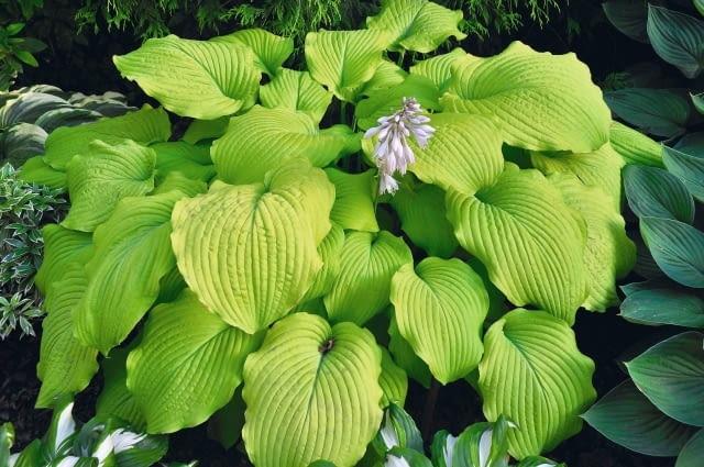 Byliny, które można rozmnażać wiosną przez podział - Gailardia