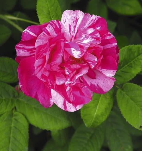 Róża francuska 'Versicolor'
