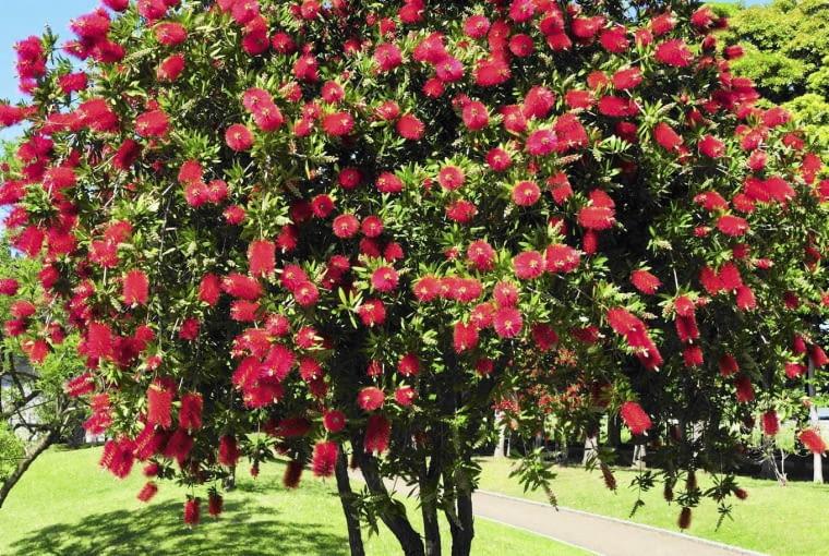 Crimson Bottlebrush, Urayasu City, Chiba Prefecture, Honshu, Japan