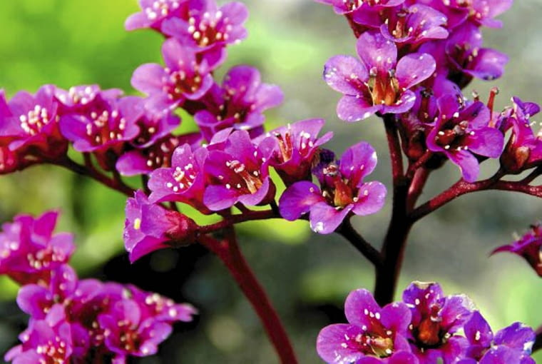 Bergenia sercowata to bylina dekoracyjna przez cały sezon. Tworzy kępy dużych, skórzastych liści. Wiosną kwitnie na różowo. Może rosnąć w głębokim cieniu pod koronami drzew. Lubi żyzną ziemię