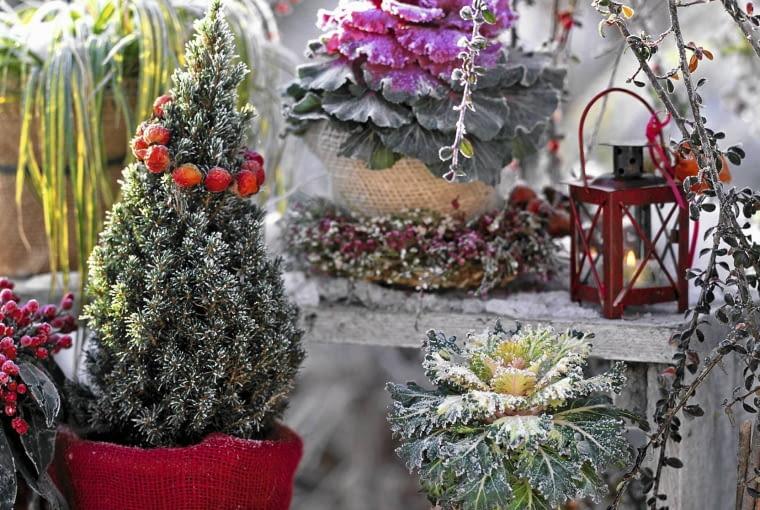 Topfarrangement im Rauhreif mit Picea glauca 'Conica' (Zuckerhutfichte ), Brassica ( Zierkohl ), Carex ( Segge ), Physalis ( Lampionkranz ), Rosa ( Hagebutte ) T^pfe mit Jute eingepackt SLOWA KLUCZOWE: Schnee ZZZ Pflanzentreppe hoch platzsparend GAP 000 Topf drau?en Winter Brassica Rauhreif Picea glauca Conica Terrasse
