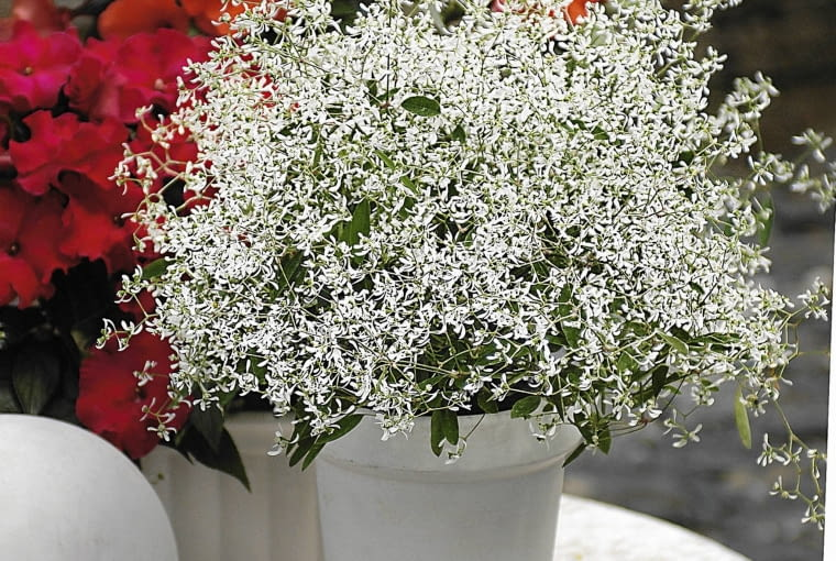 Wilczomlecz 'Diamond frost' (Euphorbia)