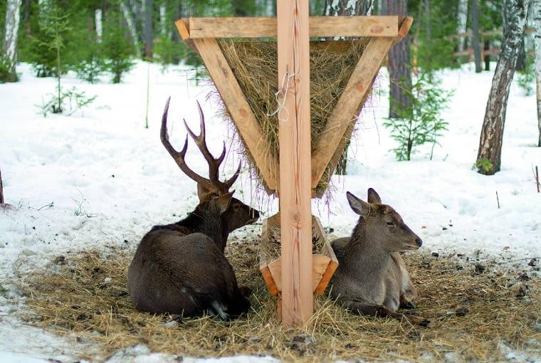 Jeśli dokarmiamy dzikie zwierzęta, powinniśmy to robić systematycznie, w stałych miejscach, tylko w czasie srogiej zimy. I zawsze w porozumieniu z leśniczym lub przedstawicielem kółka łowieckiego.