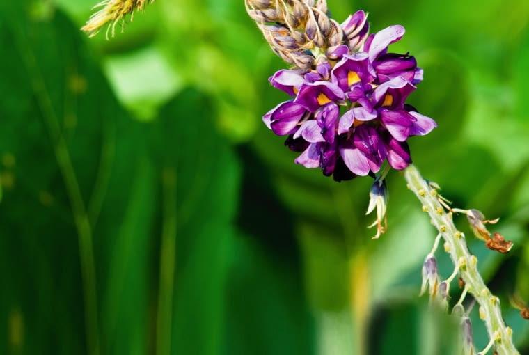 Kudzu - kwiatostan, po lewej - cięty suszony korzeń. Za sproszkowany korzeń: 90 kapsułek po 500 mg, zapłacimy ok. 45 zł.