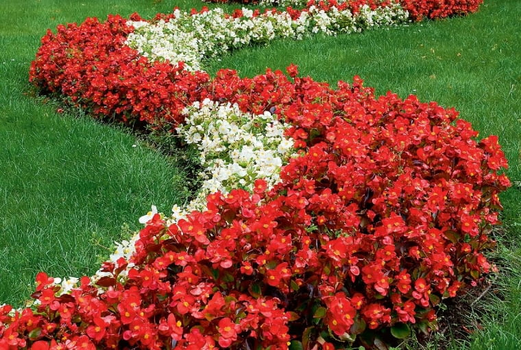 Begonie (Begonia) doskonale radzą sobie w słonecznych miejscach.