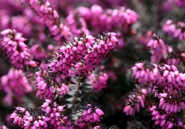 Niziutkie wrzośce, to zwiastuni wiosny na wrzosowiskach. Najwcześniejsze odmiany zakwitają w lutym lub marcu.