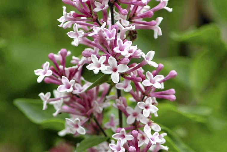 Syringa microphylla 'Superba' SLOWA KLUCZOWE: Rozmyte Średnia jakość