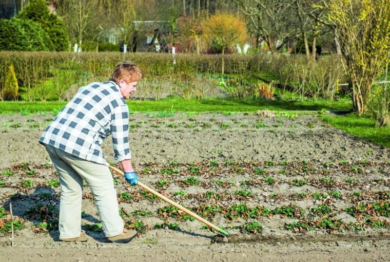 Na grządkach truskawek usuwamy zaschnięte liście, aziemię odchwaszczamy, płytko wzruszamy izasilamy kompostem. Warto rozłożyć na niej ściółkę ze słomy.