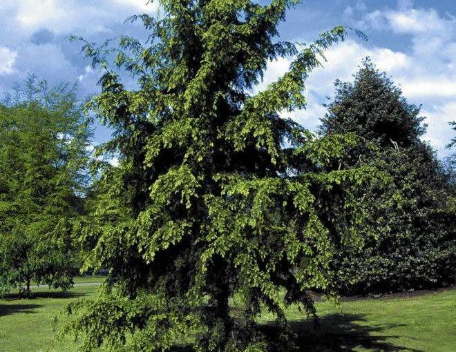Hemlock (Tsuga yunnanensis), Pinaceae
