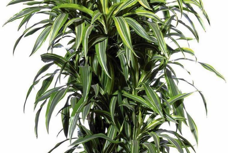 DRACENA ma kilka gatunków i wiele odmian. Wszystkie są mało wymagające. Dobrze rosną w półcieniu w lekko wilgotnym podłożu.