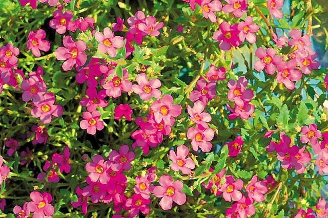 Bakopa. Zwiesza łodygi na długość około 40 cm. Tworzy bardzo liczne białe lub lilioworóżowe kwiaty. Zdobią one roślinę do mrozów.