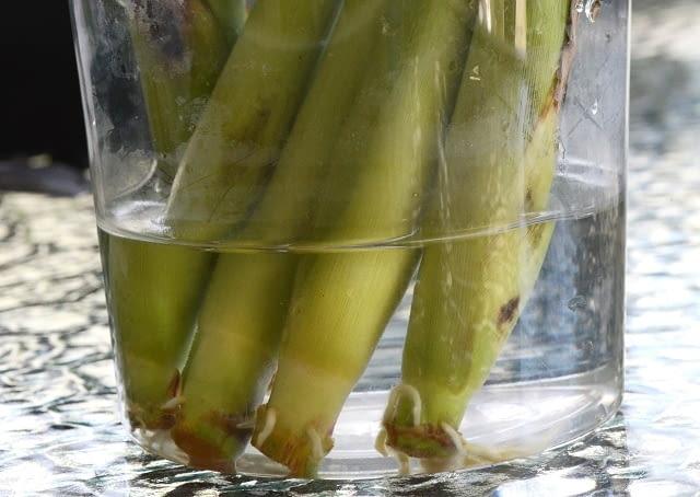 Trawa cytrynowa w szklance