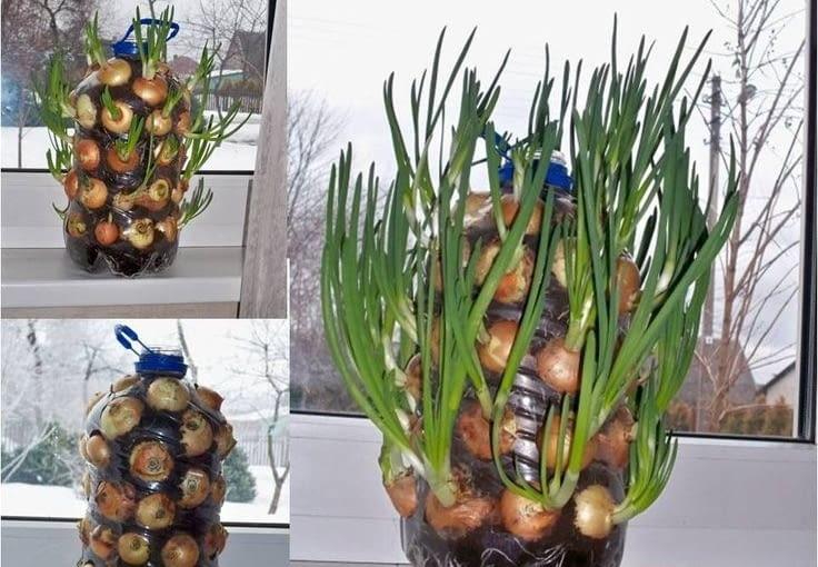 Prosty sposób na plantację szczypiorku. 5 litrowy baniak po wodzie wypełniamy żyzną ziemią ogrodniczą. Przy ściankach umieszczamy główki cebuli. Pojemnik dziurkujemy w miejscu gdzie cebula zacznie puszczać szczypiorek - na szczycie główki. Więcej na auntiedogmasgardenspot.wordpress.com