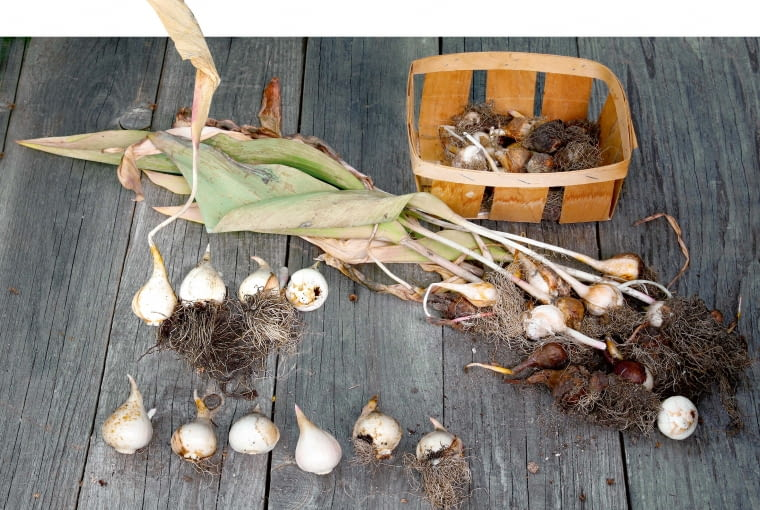 Tulipany co sezon tworzą nową dużą tzw. cebulę zastępczą (stara zamiera) oraz kilka mniejszych.