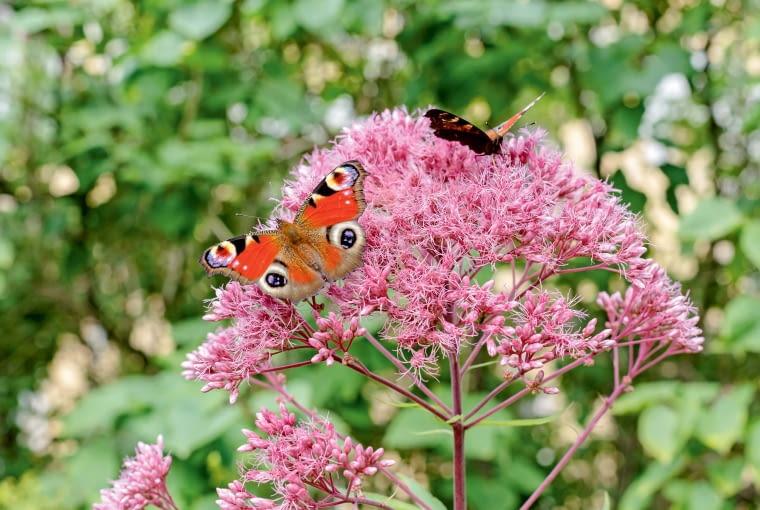 Sadziec konopiasty to wysoka bylina późnego lata. Wabi motyle. Lubi wilgoć.