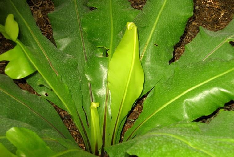 Paproć Asplenium gniazdowe (Asplenium nidus)