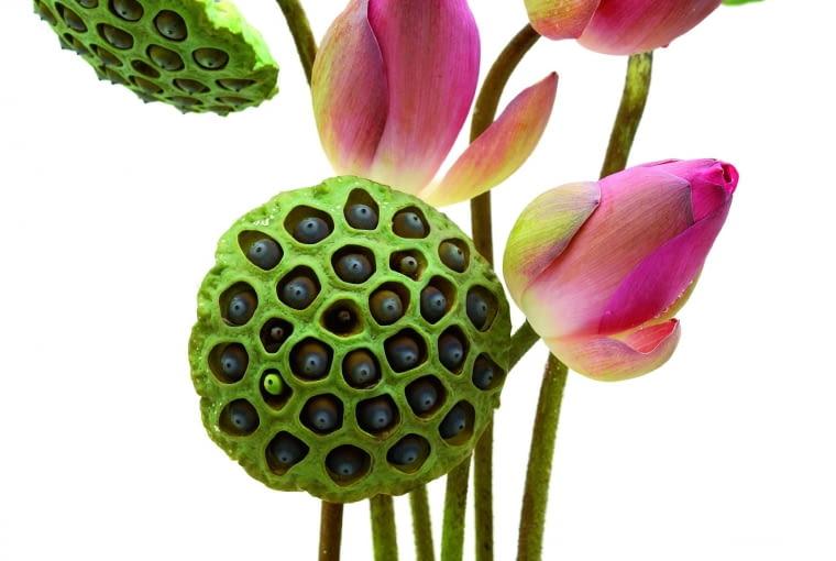 Owoce lotosu mają kształt dysku. W otworach widać czarne nasiona. Obok nierozwinięte pąki kwiatowe.